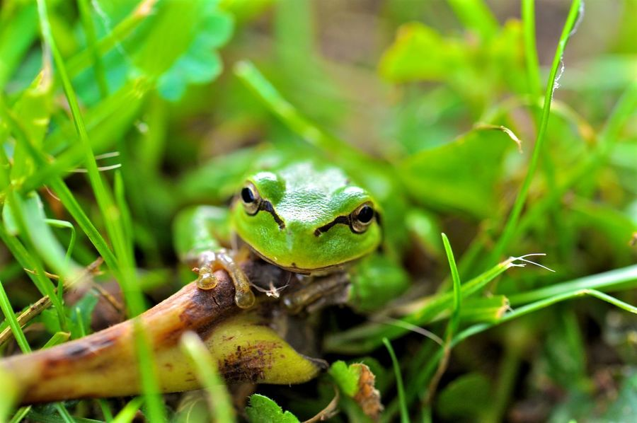 Grass Frog Animal Themes Animals In The Wild Close-up Grass, Frog, Green Green Color Nature One Animal Outdoors