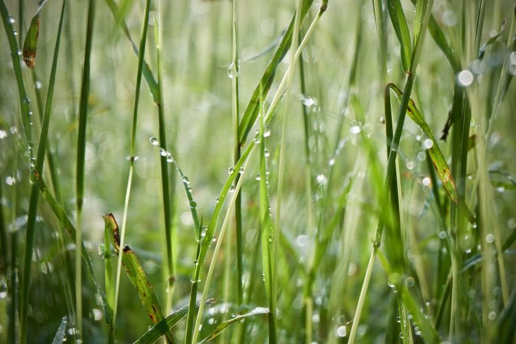 Plant Green Color Growth Nature Field Grass Drop Beauty In Nature Land Day Freshness Water No People Selective Focus Close-up Wet Tranquility Blade Of Grass Outdoors Rain Dew Purity