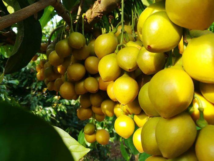 so delicious 😋 ,Baccaurea ramiflora 'Phyllanthaceae Rambeh Lambi Fruit Plant Bunch Bunch Of Fruits For Sale Amezing Fruit Tree Fruits Tree Orange Color Yellow Tree Fruit Yellow Agriculture Close-up Food And Drink Plant Life Farmer Market