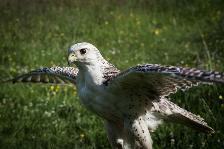 A two year old Gyrafalcon / Saker Falcon crossbreed about to take flight. Bird Bird Of Prey Falcon Falconry Feather  Field Gyrafalcon Hunter Nature Outdoors Saker Saker Falcon Wildlife