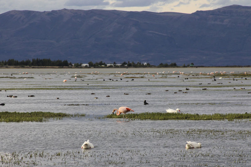 Animal Mountain Animal Themes Group Of Animals Animal Wildlife Animals In The Wild Environment Water Landscape Nature Vertebrate Beauty In Nature No People Scenics - Nature Bird Mammal Mountain Range Day Large Group Of Animals Outdoors Flamingo Lago Argentino