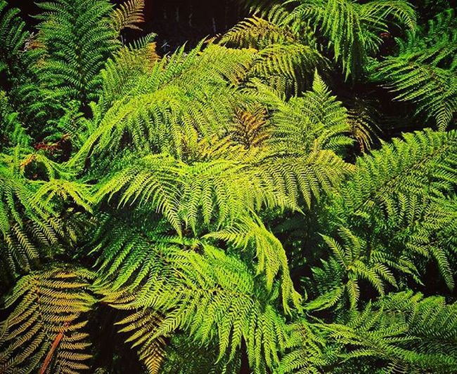 Greenery Af_greens➡🍀leaves🍄🌴plants🌵succulents Ferns Ponga NZ Aotearoa Newzealand cgreen9Vaga_ColorGreen9 Pocket_colors Rainbow Wall Tv_simplicity Simplicity Paradise_minimal Nothingisordinary Minimal_mood Minimal_int Pocket_minimal Minimalgram 9vaga_dailytheme9 Fromyourprospective_44 Leaveonlyleaves Lol_fern