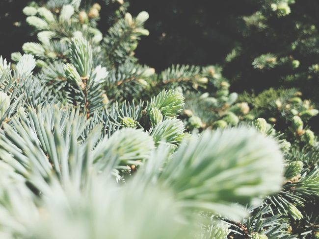Plant Growth Green Color Beauty In Nature No People Tree Coniferous Tree Needle - Plant Part Focus On Foreground Outdoors Sunlight Branch Day Tranquility Selective Focus Pine Tree Nature Close-up Pinaceae Pine Cone