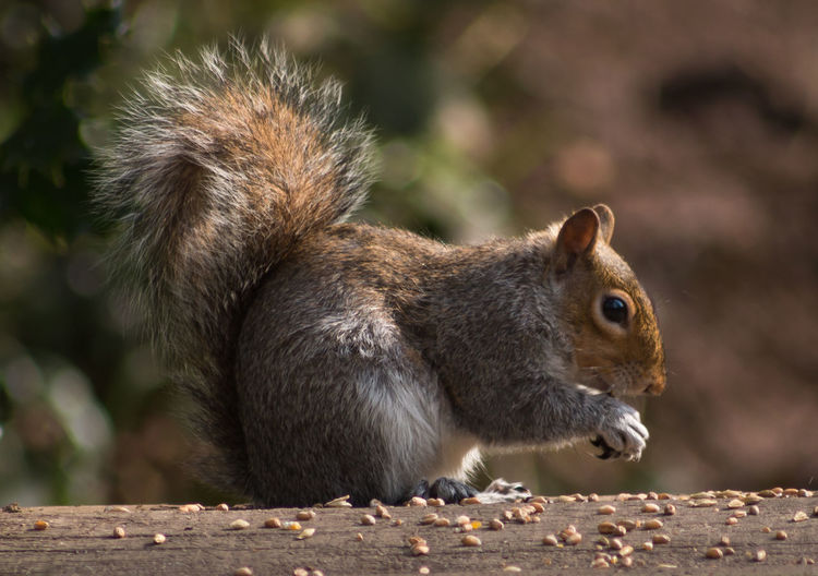 Close-up side view of a squirrel
