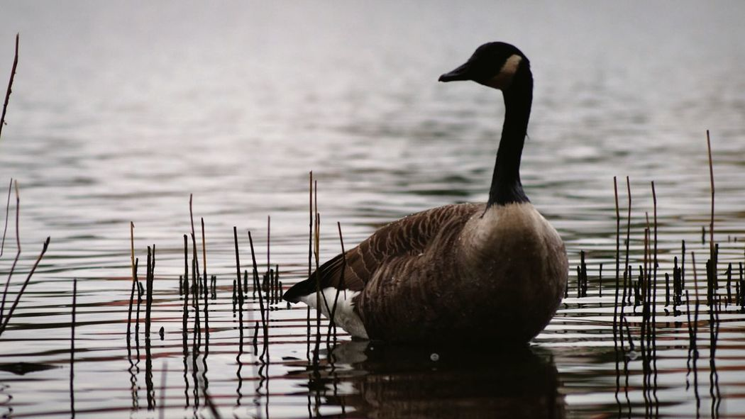 Focus On Foreground Hagaparken Solna Sweden Showcase October 2016 Oktober Niklas Swedish Nature Beauty In Nature EyeEm Birds Animal Themes Animals In The Wild Canada Goose BYOPaper! The Week On EyeEm Perspectives On Nature