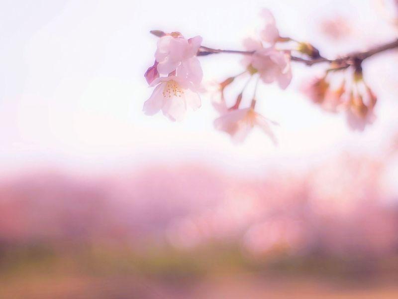ぼんやりと眺めている。 Relaxing Enjoying Life EyeEm Nature Lover 春 Spring Japan Blossom 桜 Sakura Cherry Blossoms Spring Time Colors Takumar Hazy Days Dreamfantasy Bokeheffect Pink Hazy  Airy Flowers Airy Fleshyplants Spring Colours