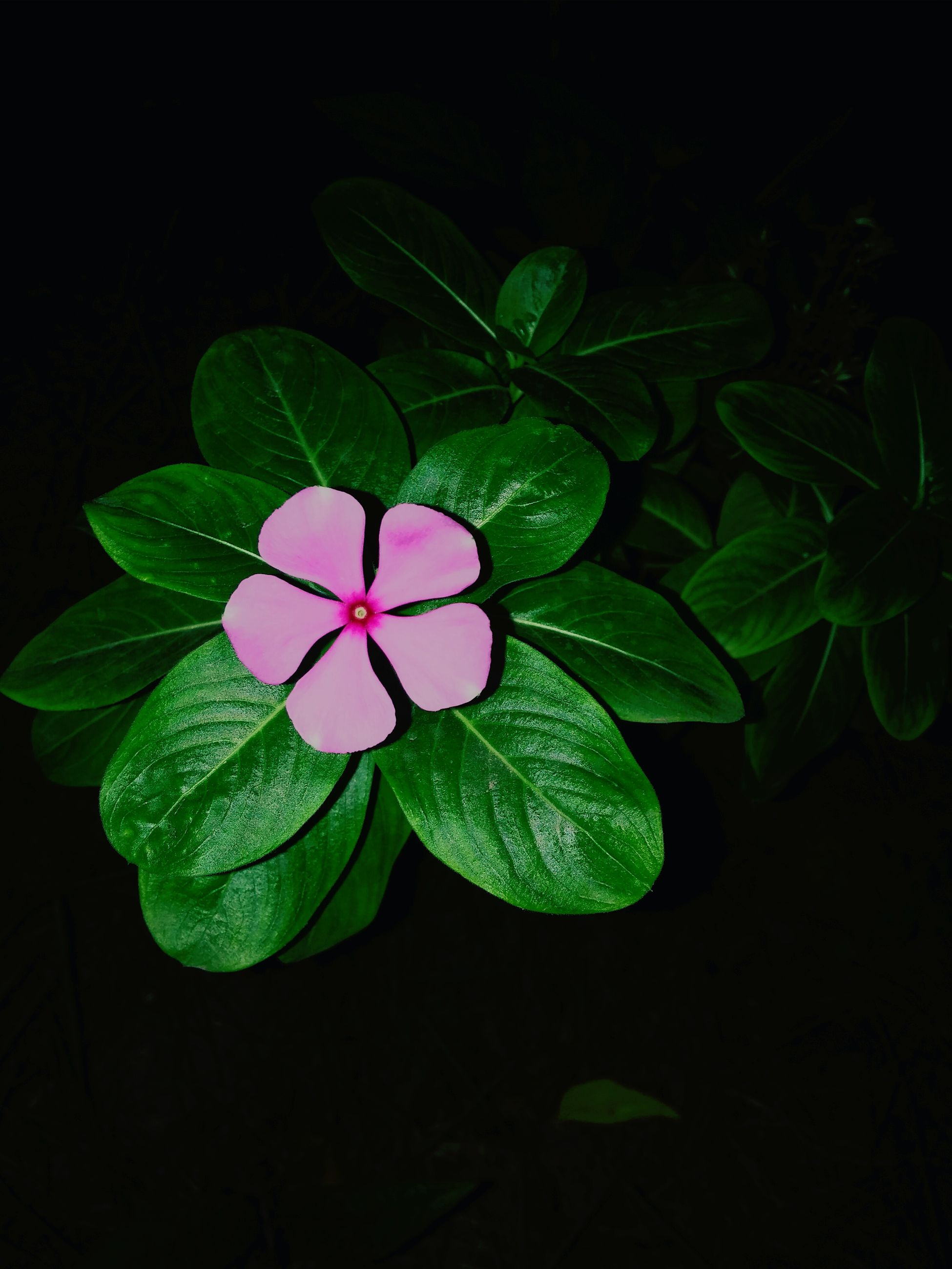 leaf, green color, nature, growth, plant, freshness, beauty in nature, periwinkle, fragility, no people, flower head, close-up, flower, black background, outdoors, day