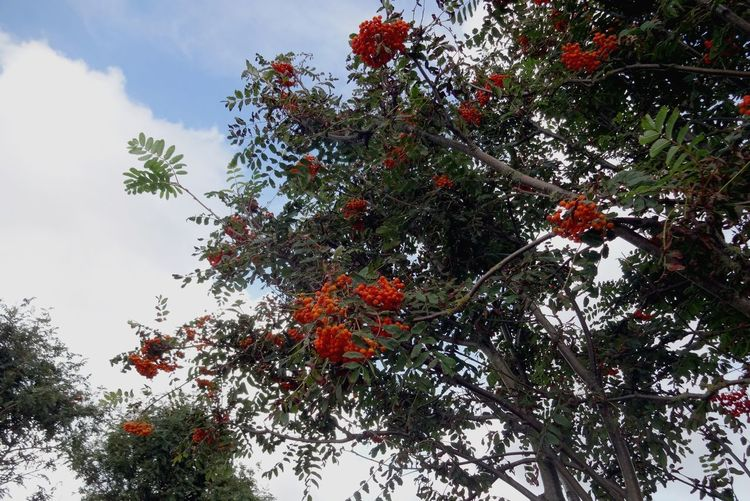 Sanddorn Colour Red Frucht Baum Sallow Thorn Seabuckthorn Seabuckthornberry Seaberry Föhr Tree Fruit Low Angle View Outdoors Growth Nature Red Branch No People Beauty In Nature Healthy Eating Freshness