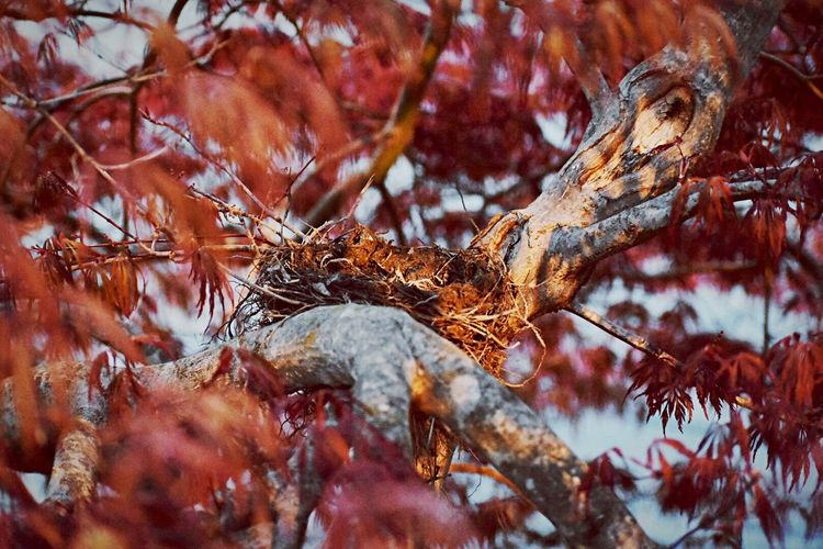 Nest Autumn Leaf Dry Nature Change Tree Branch No People Close-up Day Outdoors Dead Plant Winter Red Beauty In Nature Plant Part Bare Tree Cold Temperature Rotting