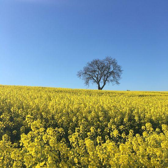 Rapsfeld Germany-Eifel Yellow Flower Clear Sky Rapsfeld Tree