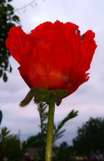 Close-up of red poppy flower against sky