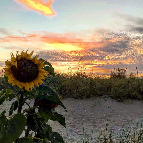 Flower Freshness Sunset Beauty In Nature Flower Head Sunflower Fragility Growth Plant Petal Leaf Nature Yellow Close-up Cloud Sky Cloud - Sky Tranquility Blossom Vibrant Color Beach