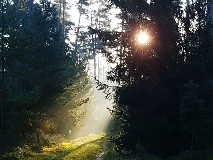 Beauty In Nature Nature Tree Scenics Tranquil Scene Sunlight Idyllic Tranquility Sunbeam Growth Sun Outdoors Forest Forest Photography Forest View Sun And Trees Sun And Forest Wood Sunrise Sunrise In Forest Shaft Of Light Shafts Of Sunlight Sun-rays Sun Ray Forest In The Early Morning