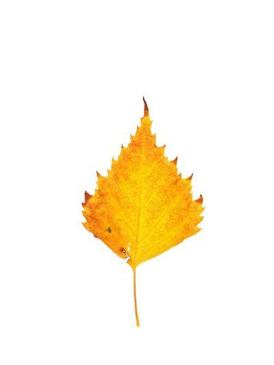 birch Autumn