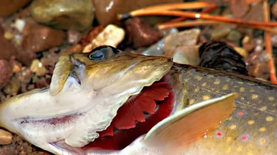 Kizerphotography Fishing Last Breath Fish Trout Catch And Release No Photoshop Nature's Art Colorful Under Pressure