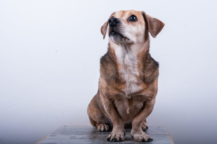The sweet look of a dog Animal Head  Animal Themes Cute Dog  Cute Pets Dog Dog Portrait Domestic Animals Eyes Eyes Are Soul Reflection Front View Italy Lookingup Mammal No People One Animal Pets Roma Sitting Studio Photography Studio Shot Sweet Dog  Tenderness White Background