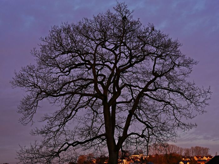Bare Tree Beauty In Nature Branch Day First Morning Light Low Angle View Nature No People Oak Tree Outdoors Scenics Silhouette Sky Sunset Tranquility Tree