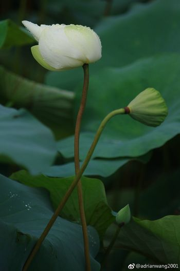Beauty In Nature Flower Nature Lotus Water Lily Lotus Lotus Leaf Beauty In Nature Waterlily Water Lily Lotus Flower Green Color Shenzhen.China Nature Leaf