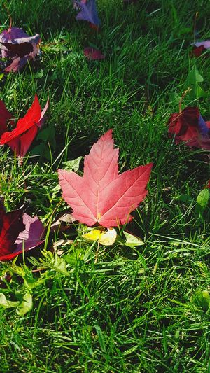 Oh Canada Leaf Grass Nature Day Outdoors Growth Beauty In Nature Field No People Autumn Fragility Plant Maple Leaf Red Close-up Maple Freshness Samsung Galaxy S7 Samsungphotography Fall Colors Fall Beauty Autumn Autumn Colors Autumn Leaves Autumn🍁🍁🍁