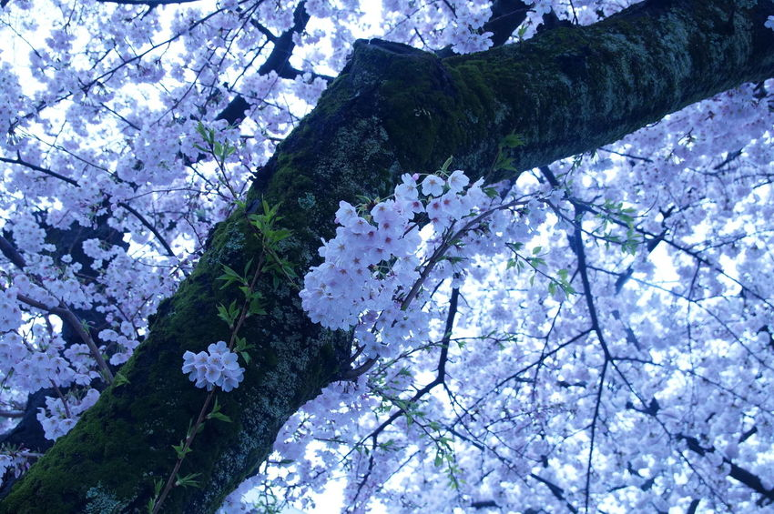 Flower Beauty In Nature EyeEm Best Shots - Nature EyeEm Best Shots Cherry Blossoms 桜 サクラ 犬山