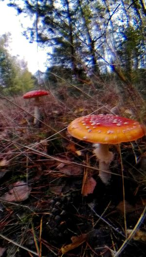 Autumn Collection Beauty In Nature Beauty In Nature Beauty In Ordinary Things Close-up Closer Look Closer To Nature Day Fliegenpilz Fly Agaric Mushroom Forest Heidelandschaft Herbstmorgen Herbstspaziergang Herbst🍁 Layers And Colors Mushroom Nature No People Non Urban Scene Non-urban Scene Outdoors Tranquil Scene Tree WoodLand