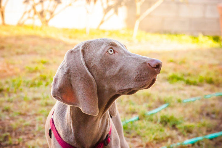 Animal Head  Animal Themes Canine Canine Companion Close-up Day Dog Dog Love Dogs Dogs Of EyeEm Dogs Playing  Dogs Playing Together Dogslife Dog❤ Domestic Animals German Weimaraner Grass Looking Away Loyalty No People One Animal Outdoor Playtime Outdoors Pets Playing Outside