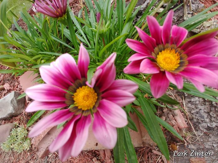 Pretty In Pink LG V30 Beauty In My Garden Flowerporn Flower Collection Flowers For My Friends Nature_collection Flower Head Flower Pink Color Petal Close-up Gazania In Bloom