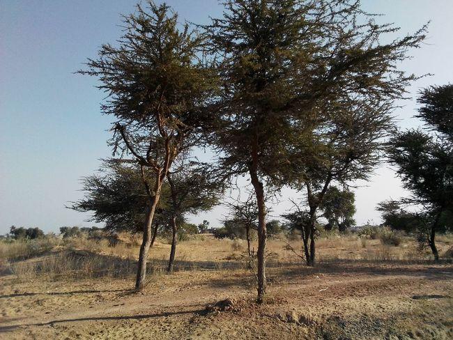 Desert landscape Rajasthan India Landscape_photography Colourful Rajasthan Desert Landscape Trees Desrt Scenes Tree Nature Outdoors Sky Day Beauty In Nature Tranquility Landscape No People