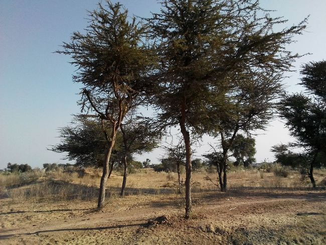 Landscape_photography Colourful Rajasthan Trees Desert Landscape Desrt Scenes Village Life Village View Village Photography Desert Life Tree Nature Outdoors Sky Day Beauty In Nature Tranquility Landscape No People