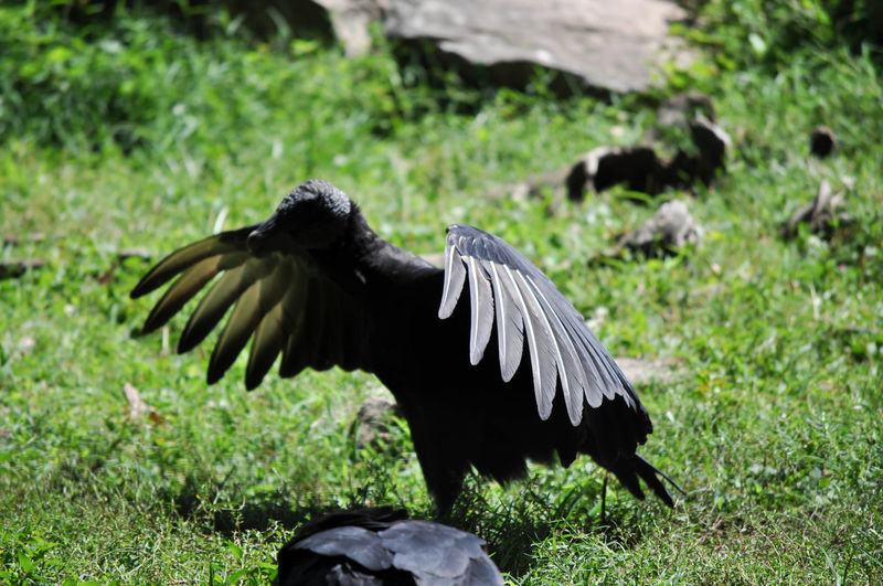 Animal Themes Animal Wildlife Animals In The Wild Bird Bird Of Prey Black Bird Nature No People Outdoors Scavenger Vulture Wildlife