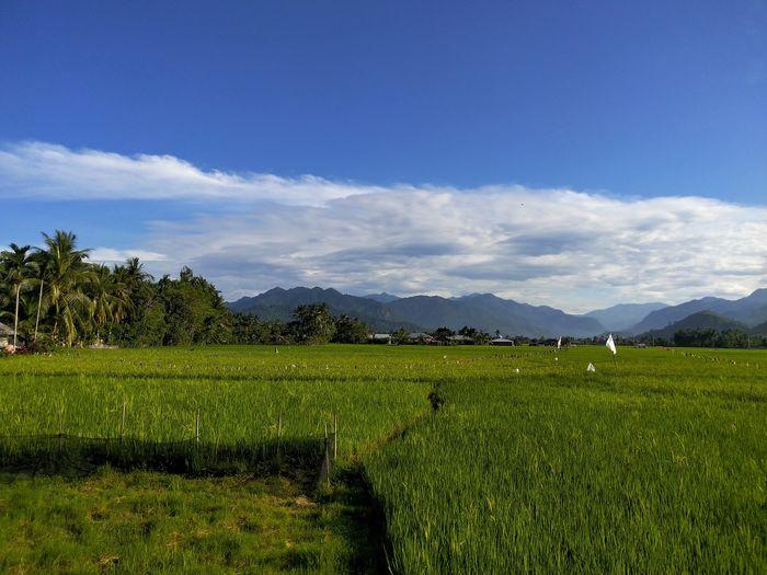 lubuak anau Lubuak Anau Tree Tea Crop Rice Paddy Irrigation Equipment Mountain Agriculture Rural Scene Field Crop  Farm