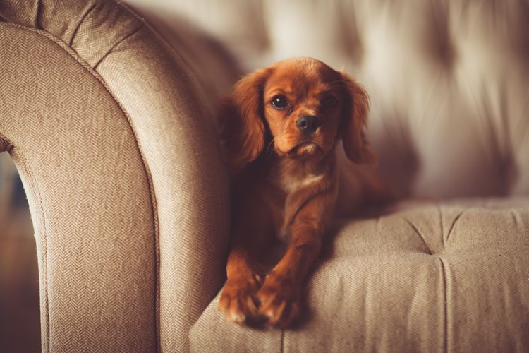 A funny dog on the couch Animal Themes Close-up Day Dog Domestic Animals Full Length Indoors  Living Room Mammal No People One Animal Pets Portrait Sitting Sofa
