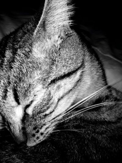 Animal Photography Black And White Black And White Photography Cat Cat On The Bed Cat Photography Indoors  Kitty Kitty Cat Lazy Cat Lazy Kitty Love My Kitty♥ No People Playful Cat Single Animal Sleepy Kitty Taking Photos Tired Cat