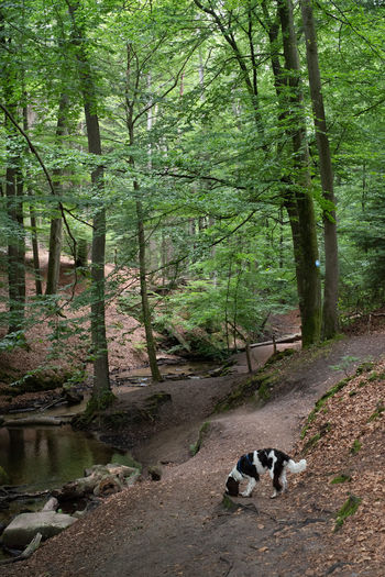 Tree Forest Plant Mammal Animal Animal Themes Land Nature WoodLand Non-urban Scene No People Day One Animal Water Growth Vertebrate Tranquility Tranquil Scene Scenics - Nature Beauty In Nature Outdoors Stream - Flowing Water Dog English Springer Spaniel