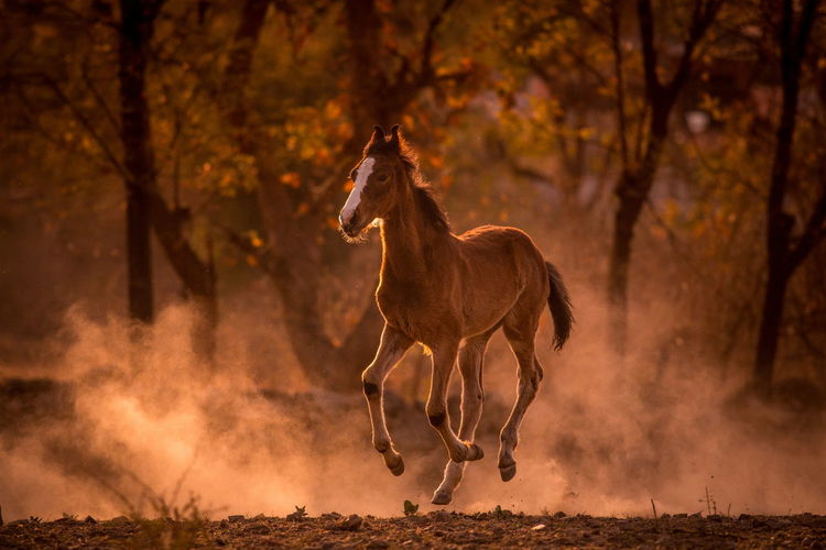 Evening Light India Animal Animal Themes Bay Bay Horse Domestic Animals Dust Evening Filly Foal Horse Indian Horse Land Mammal Marwari Motion Nature No People One Animal Outdoors Running Summer Tree Vertebrate The Great Outdoors - 2018 EyeEm Awards