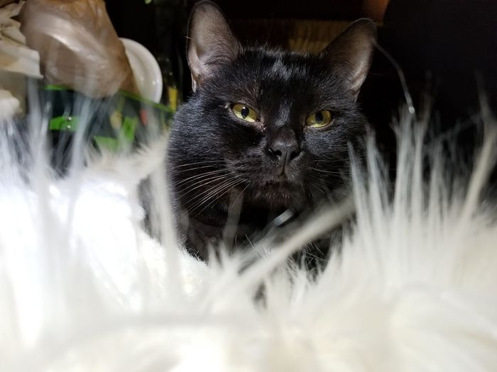 Charles in his new blankie Eyeem Photography Black Cat Collection White Blanket
