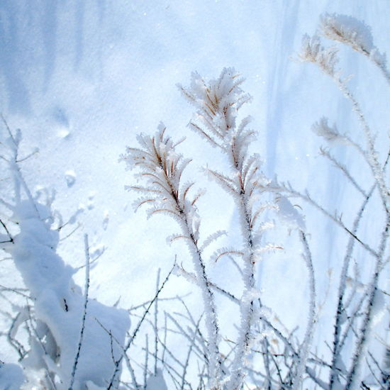Beauty In Nature Close-up Cold Temperature Day Fragility Freshness Growth Nature No People Outdoors Plant Snow Winter