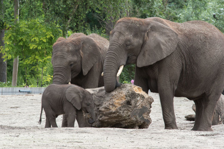 Animal Family Beauty In Nature Day Elephant Focus On Foreground Herbivorous Mammal Nature No People Outdoors Tree Zoo
