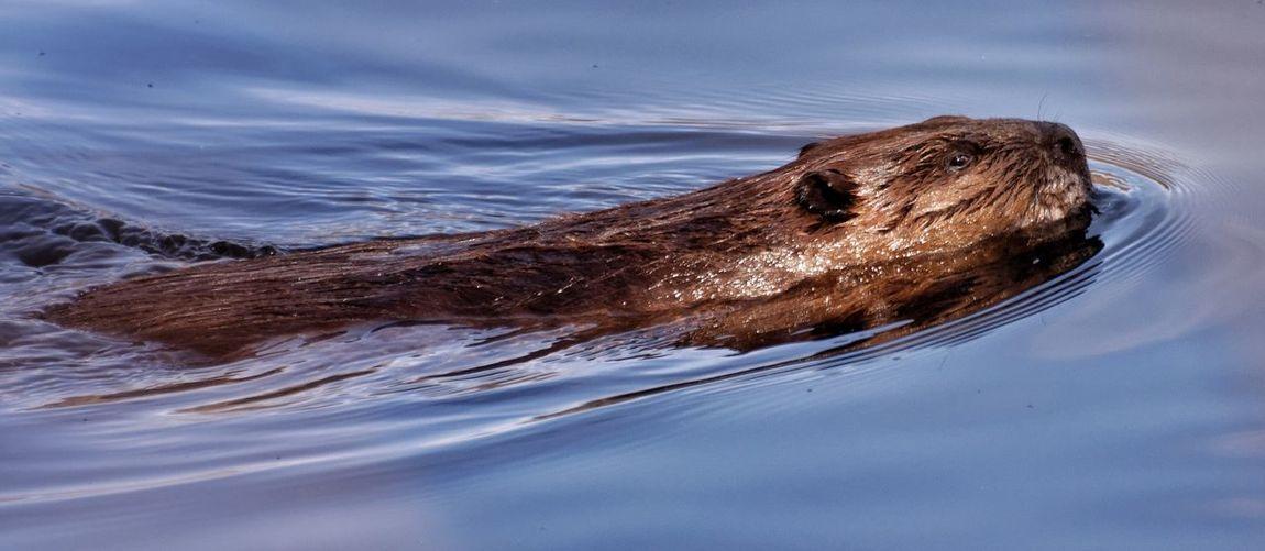 Panoramic shot of beaver swimming in lake