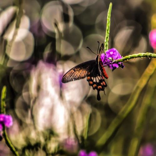 Crimsonrose Butterfly Swallowtail Beautiful Insect Nature Wonder Pw_mumbai Pw_camouflageblend Thane India