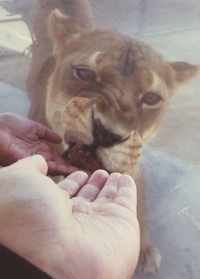 Nala was hungry QueenOfTheJungle Nala Lioness Lions Nurture