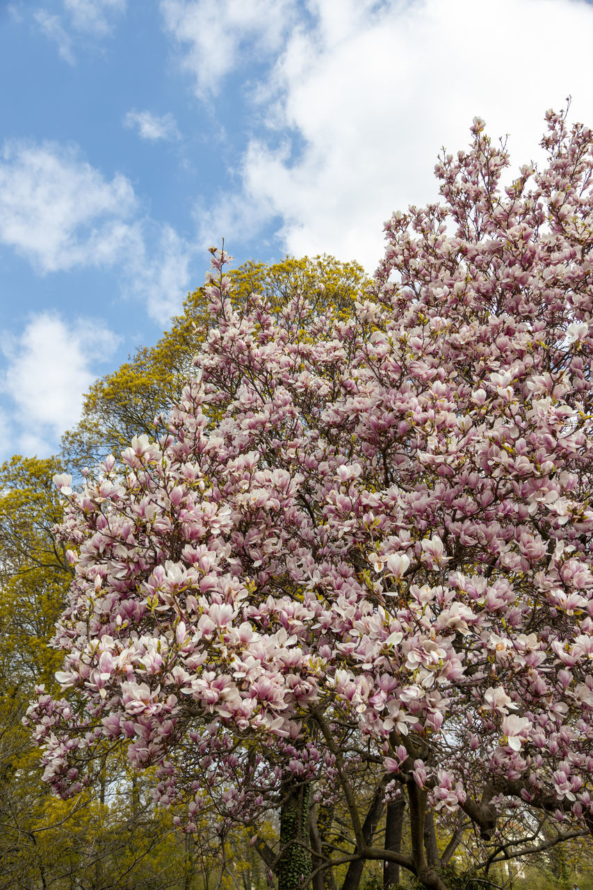 LOW ANGLE VIEW OF PINK CHERRY BLOSSOM TREE AGAINST SKY