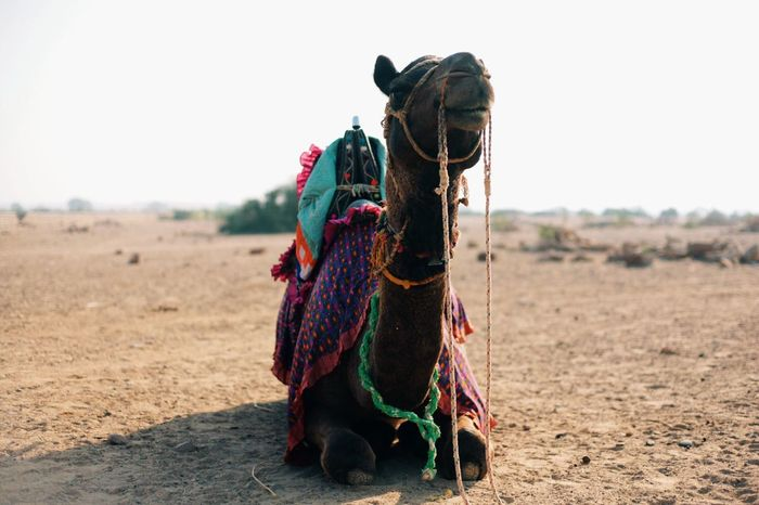 Anyone want to ride Kahlu? Shot taken in Jaisalmer whilst on a Camel Safari. India EyeEm Best Shots Jaisalmer Camel