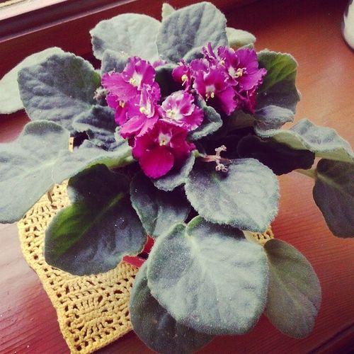 моя фиалочка Снова цветет домашниецветы доброеутро пятница