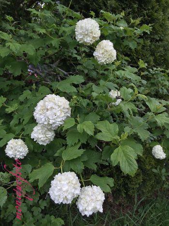 Schneebälle im Mai 💕💗 Monique52 Check This Out Spazieren Und Fotografieren Blütenduft Nature Natur Garten Pflanze Natur Garten Schneeball
