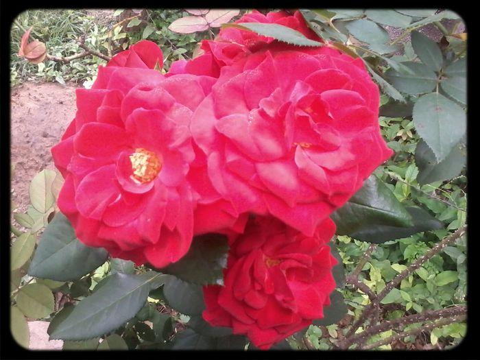 las rosas de mi mamá!!!