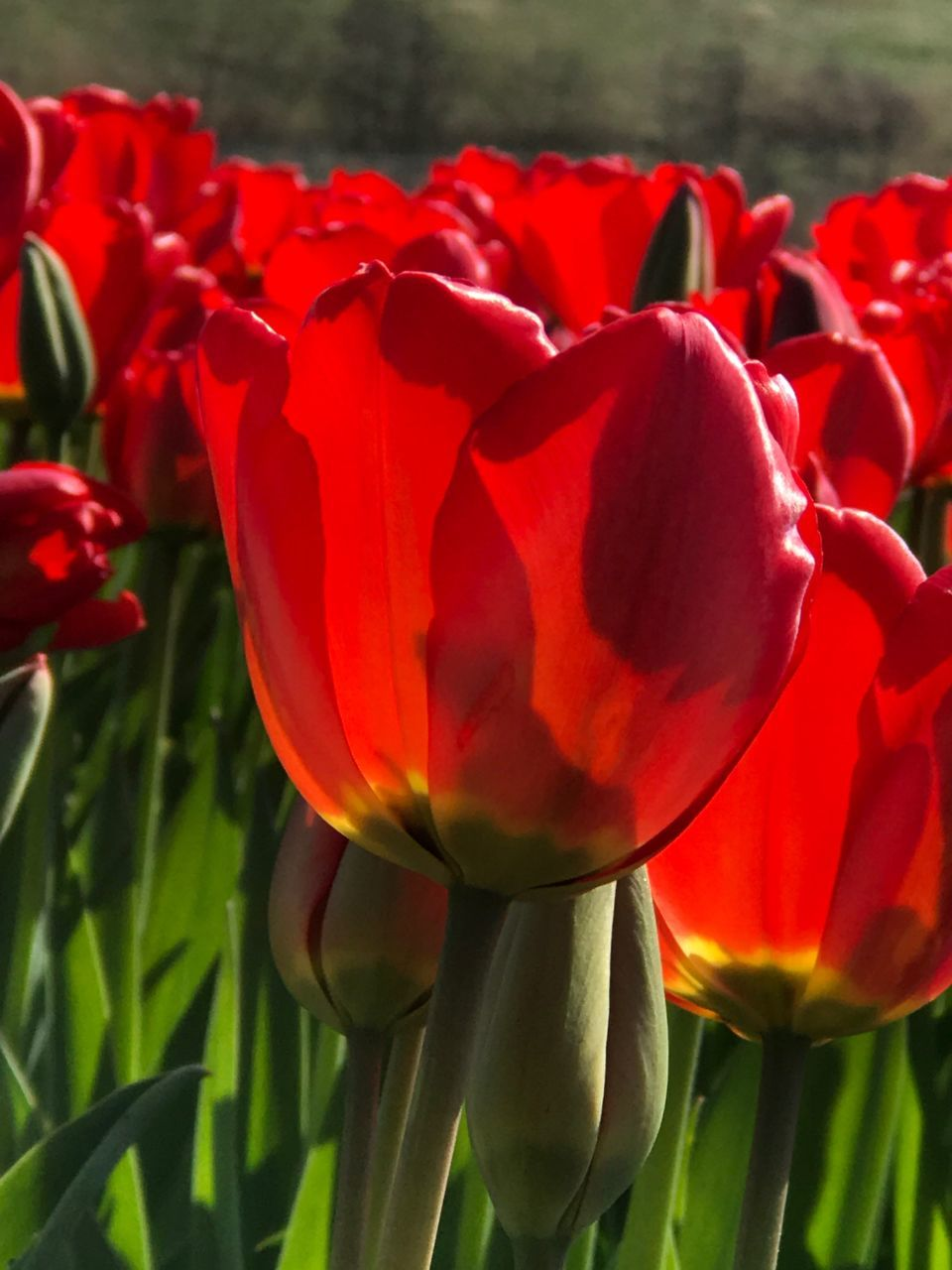 flower, petal, beauty in nature, nature, fragility, growth, freshness, flower head, red, plant, blooming, tulip, no people, close-up, outdoors, day