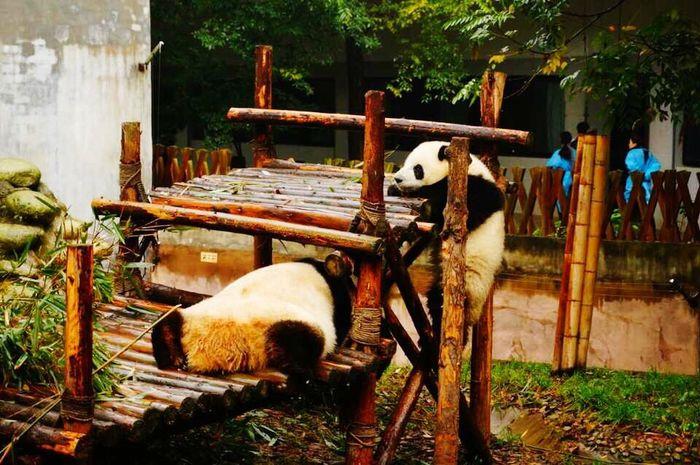 Panda Animals Cute PANDA ♡♡ Pandas♥ Lovely