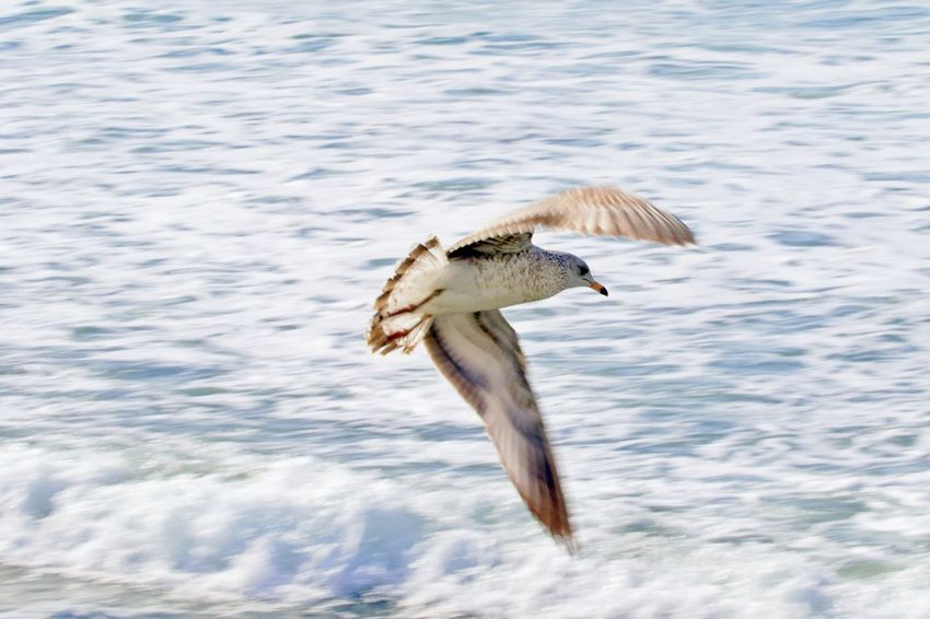 Animal Themes Animal Animals In The Wild Bird Animal Wildlife One Animal Water Flying Waterfront No People Spread Wings Mid-air Outdoors Nature Seagull