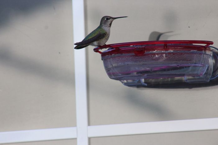 You looking at me One Animal Animal Themes Bird Animals In The Wild No People Animal Wildlife Nature Close-up Day Outdoors Hummingbird Birdfeeder